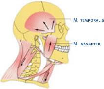 Kiefergelenk Muskeln Orthodentix